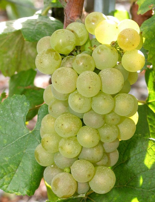 coldibetto-grappolo-di-chardonnay